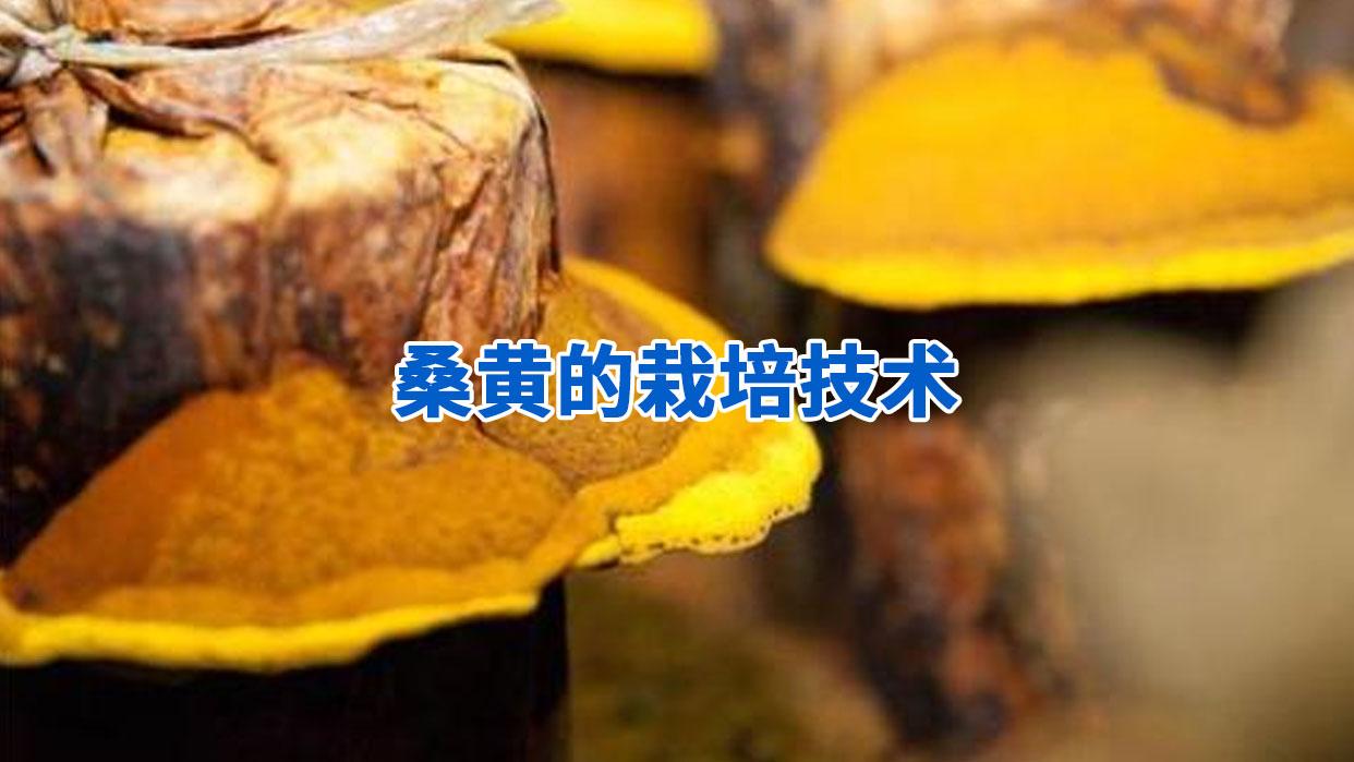 桑黄的栽培技术